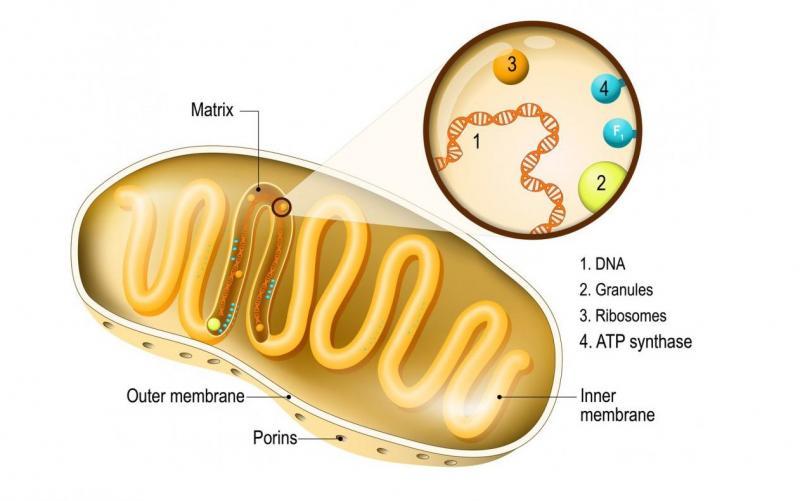 ミトコンドリアを増やしてキレイに長生きする方法