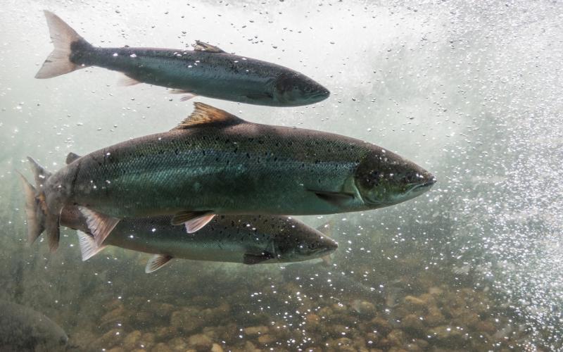 鮭は全部同じと思ったら大間違い。養殖サーモンを避けるべき理由とは?