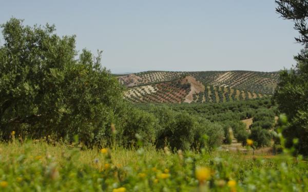 健康効果だけじゃない。環境にも配慮したスペインのサステナブルなプロジェクト「LIFE OLIVE ALIVE」のオリーブオイル。
